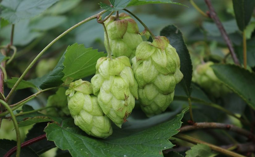 Take aways from the 2017 Hop Growers of America Statistical Report